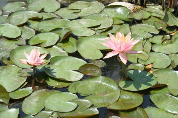 Лотосы в саду мечты. Катманду